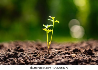 small young sprout growing  in the soil in garden, ecology and environment concept