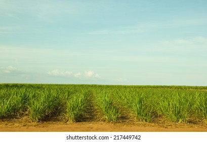 Small and Young Sugar Cane Plantation in South-West Brazil for production of Sugar or Ethanol