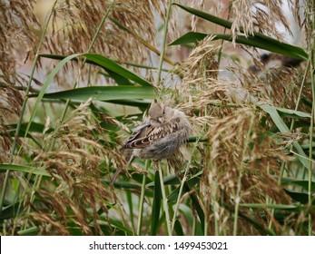 A smallbird (sparrow) in the bullrush