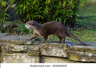 A small-clawed otter on the riverbank