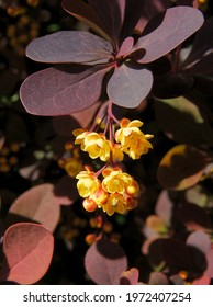 small,cluster of yellow flowers corean burberry bush at spring