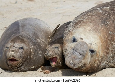 Smaller of three Southern Elephant Seal (Mirounga leonina) getting squashed during the breeding season on Sealion Island in the Falkland Islands.