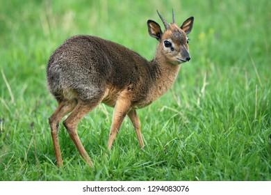 smallest antelope dik-dik on a green meadow
