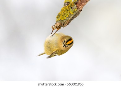 smallest bird in Europe hanging upside down on a branch,Goldcrest, yellow bird, a unique moment,nice,cute