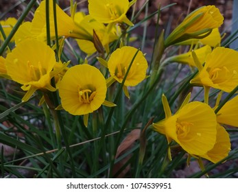the smallest daffodil - yellow flowers of the hoarfrost daffodil (Narcissus bulbocodium)