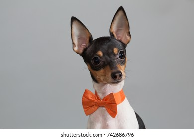 the smallest dog with big ears and an orange bow is shy