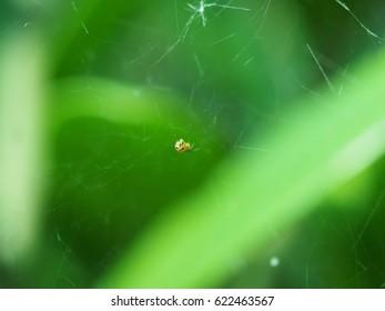 smallest garden spider in messy cobweb on blur green leaf background