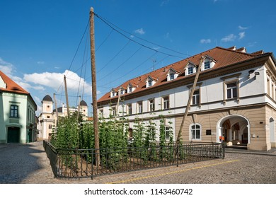 The smallest hop field in the world in Zatec town. Czech Republic.