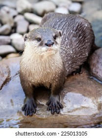 Smallest species of otter in the world, the Oriental Small-clawed Otter (Aonyx cinerea or Aonyx cinereus), standing in river bed on wet rock