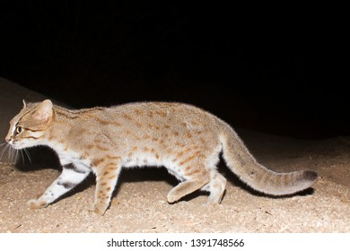 The smallest wild cat Rusty Spotted Cat from dry deciduous forests of Gujarat, India