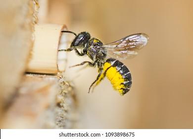 Die kleine Resin Biene (Heriades rubicola) Frau nähert sich einem Insektenhotel, um in einem Hohlrothengst den gelben Pollen der Osterblumen zu seinem Nest zu bringen. Einsame Biene im Flug mit unscharfem Hintergrund.