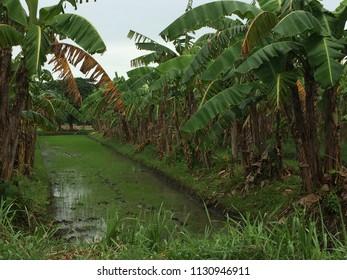 Smalll Banana plantation along sa highway in Jaro, Iloilo City, Philippines