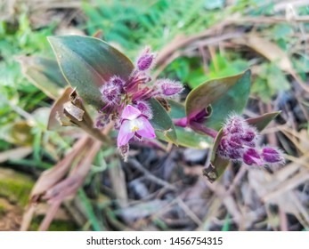 Small-leaf or river spiderwort, wandering trad, Tradescantia fluminensis, growing in Galicia, Spain
