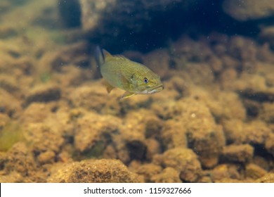 Smallmouth bass juveniles swimming in a lake in north Quebec Canada.
