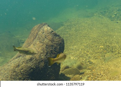 smallmouth bass underwater