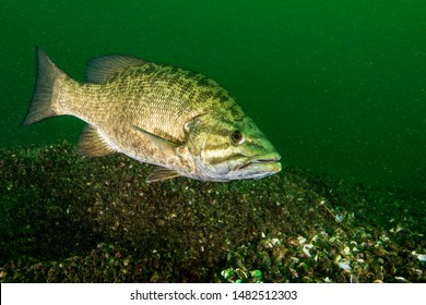 Smallmouth Bass underwater in the St. Lawrence River