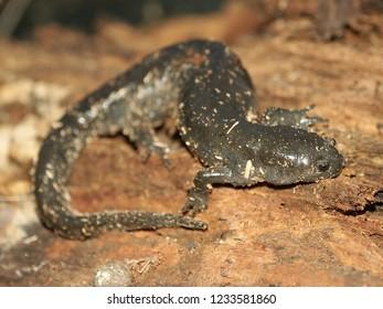 Smallmouth Salamander (Ambystoma texanum) in central Illinois