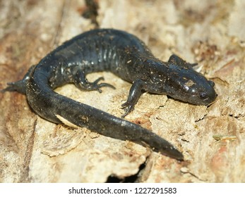 Smallmouth Salamanders (Ambystoma texanum) inhabit wet forest landscapes in Illinois