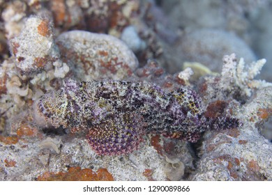 Smallscale Scorpionfish on Coral Reef in Red Sea off Dahab, Egypt