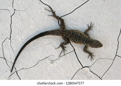 Small-scaled Lizard or Baja California Brush Lizard