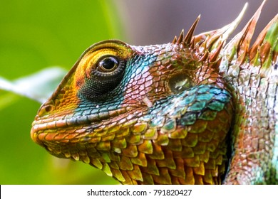 The Small-scaledvariablelizard in Sinharaja Forest Reserve of Sri Lanka.