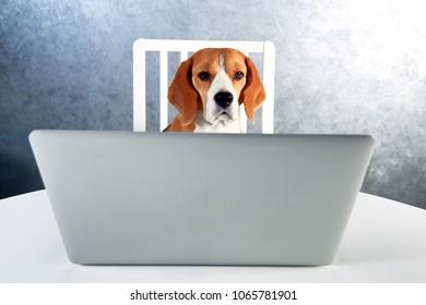 Smart beagle dog working with laptop. Dog behind white laptop looking at camera.