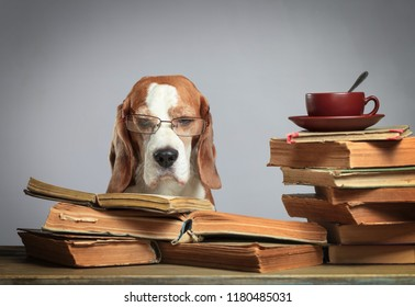 Smart beagle with glasses. Dog with old books and a cup of tea. Concept image of the theme of education.