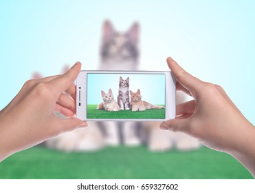 Smart beautiful british cat photographed themselves on the phone. Funny animals. Photo shoot
