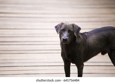 A smart black street dog is looking at the camera. The dog is standing on wooden hanging bridge.