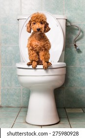 Smart brown dog pooping into toilet bowl