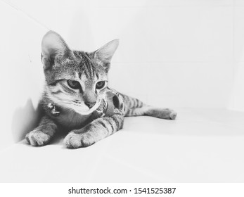 Smart cat portrait in black and white. A cat looking down against. Kitten sitting on the floor and white background in the room at home. A tiger cat wearing a bell securities collar.Domestic animal.