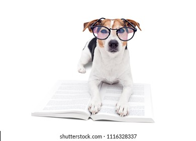 Smart cute jack russell terrier dog lying with open book in eyeglasses and looking at camera. Back to school concept, isolated on white