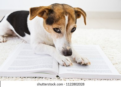 Smart cute jack russell terrier dog lying with an open book and looking at pages. Back to school concept