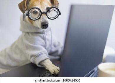 Perro inteligente en gafas trabajando con el ordenador. Lleva una caseta elegante y deportiva. Trabaja de manera independiente desde casa durante el estilo de vida de cuarentena de distanciamiento social.Quédate en casa. Foto horizontal. Tema divertido de mascotas