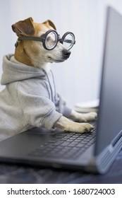 Perro inteligente que usa ordenador. Una mascota divertida con puentes grises y lentes nerd escribiendo en el teclado de un portátil. Estilo de vida independiente trabajando desde casa. cuarentena distanciamiento social. Foto vertical. trabajo duro