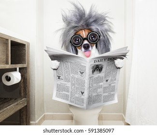 smart dumb  jack russell terrier, sitting on a toilet seat with digestion problems or constipation reading the gossip magazine or newspaper