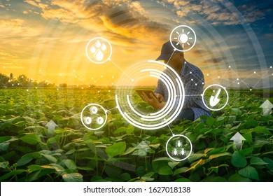 smart farmer concept using smartphone in mung bean garden with light shines sunset, modern technology application in agricultural growing activity