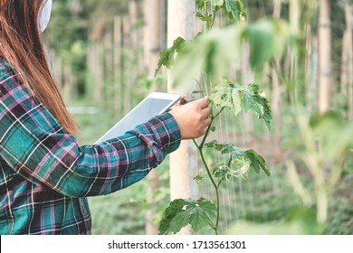 Smart farming ,Agriculture technology farmer woman using tablet to analysis data and visual icon, in Bitter melon field.modern technology application in agricultural growing activity concept