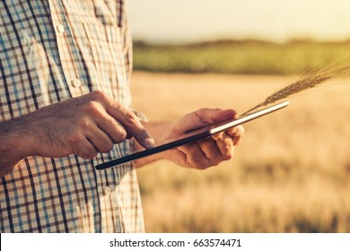 Smart farming, using modern technologies in agriculture. Male agronomist farmer with digital tablet computer in wheat field using apps and internet in agricultural production, selective focus