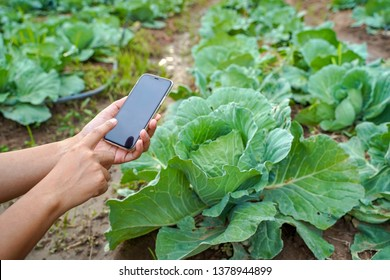 Smart farming, woman hands using modern technology mobile in agriculture, vegetable organic farming