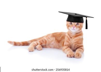 Smart graduate pet cat in graduation cap on white