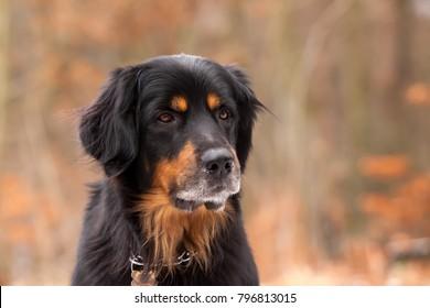 smart Hovawart dog portrait