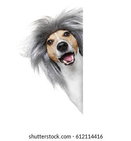 smart and intelligent dumb or nerd  jack russell dog  wearing a grey hair wig , isolated on white background