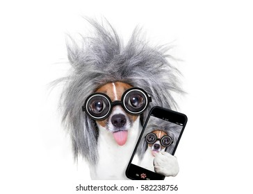 smart and intelligent jack russell dog with nerd glasses  wearing a grey hair  taking a selfie with smartphone or mobile phone  , isolated on white background