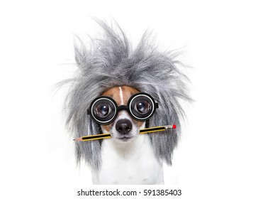 smart and intelligent jack russell dog with nerd glasses  wearing a grey hair  with pen or pencil in mouth  , isolated on white background