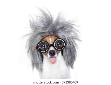 smart and intelligent jack russell dog with nerd glasses  wearing a grey hair sticking  out the tongue , isolated on white background