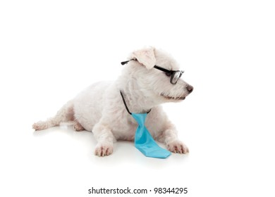 A smart intelligent pet dog animal looking sideways at your message.   The white maltese terrier is wearing a blue tie and black rim glasses.  White background.