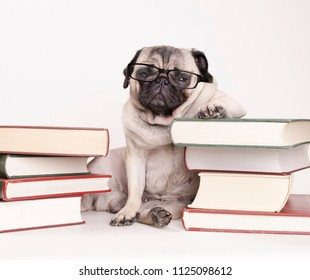 smart intelligent pug puppy dog with reading glasses, sitting down between piles of books, on white background