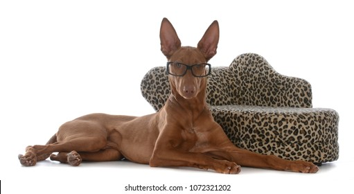 smart looking pharoah hound wearing glasses laying beside a couch