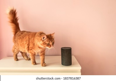 Smart pet cat. home voice activated speaker in lounge with cat. pet talking to Alexa Echo Dot. Smart home concept. modern household wireless device.